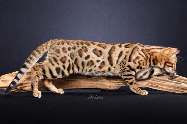 A Bengal Cat For Sale photo by Helmi Flick
